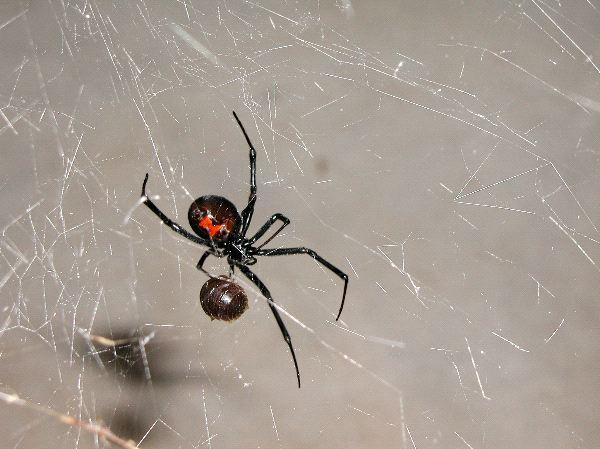 Black Widow Spider And Prey