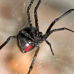 Black Widow Spider Close-Up