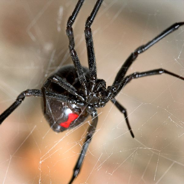Black Widow Spider Close Up | Spider Facts and Information