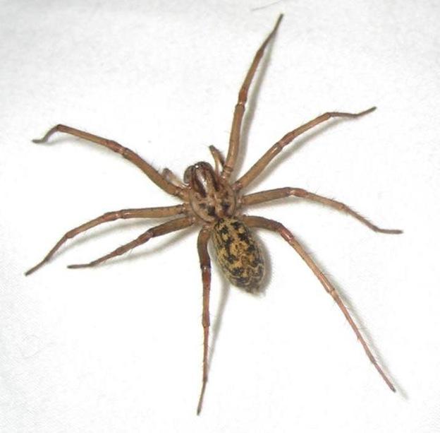 Hobo spider characteristics
