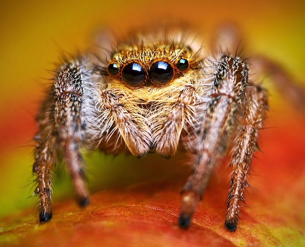 Jumping spider, family Salticidae