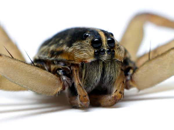 Wolf Spider And Its Eight Eyes