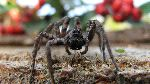 Wolf Spider Walking