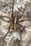 Wolf Spider With Eggsack