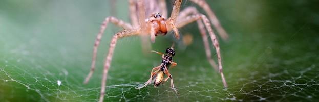 Alimentación de las Arañas