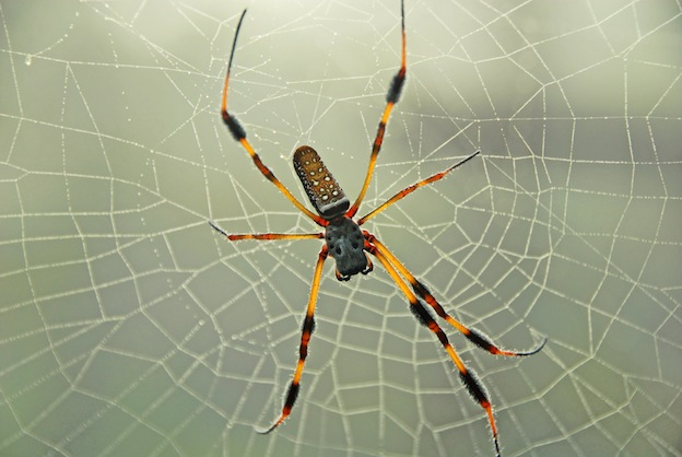 Golden orb-weavers or Giant wood spiders