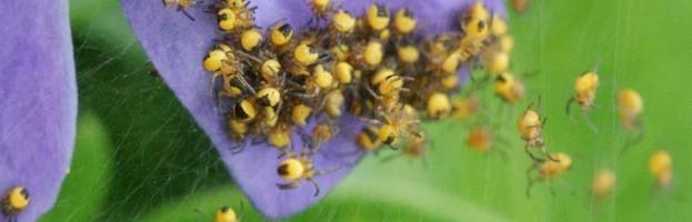 Reproducción de las Arañas