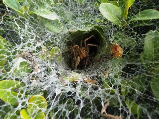 Tipos de telas de araña.
