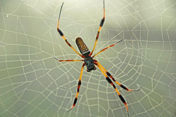Banana Spider On Web