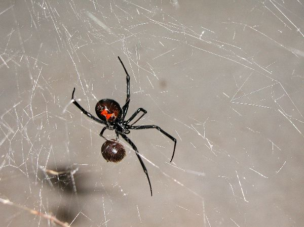 Black Widow Spider And Prey