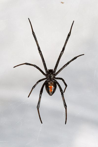 Black Widow Spider Hanging From Web