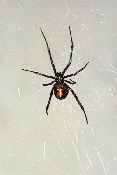 Black Widow Spider In Nevada