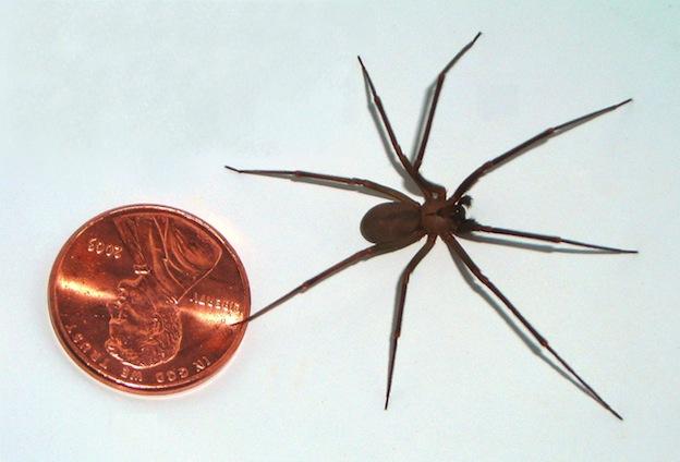Araña reclusa parda - Loxosceles reclusa / Autor de la imagen: Br-recluse-guy
