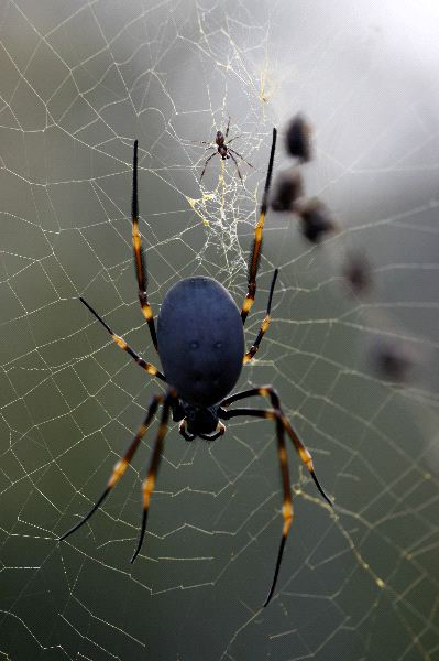 Golden Orb Weaver Spider and Spiderling
