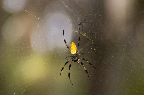 Golden Silk Spider With Mate