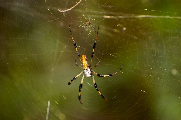Golden Silk Spider With Small Male