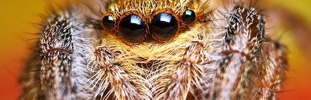 Araña Saltadora - Arañas, Información y Características