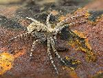 Macrophoto Of a Wolf Spider On A Rusty Surface