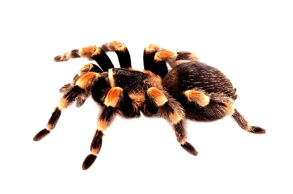 Mexican Red Knee Tarantula Profile