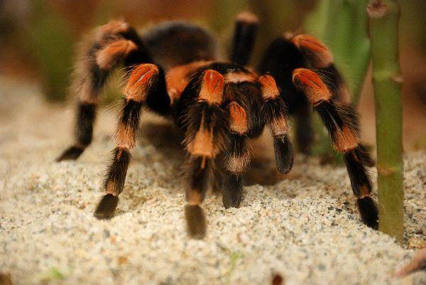 Mexican Red Kneed Tarantula On Sand