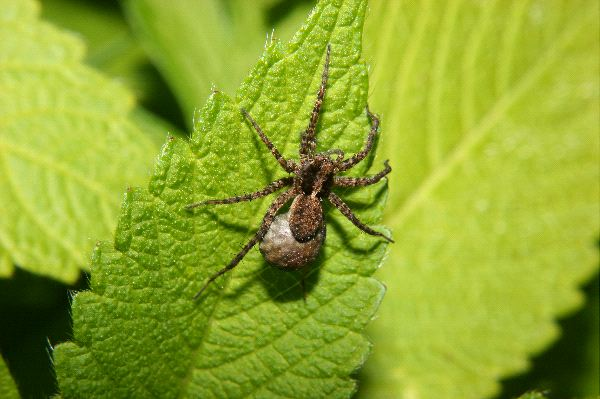 Small Wolf Spider Walking On Leaf