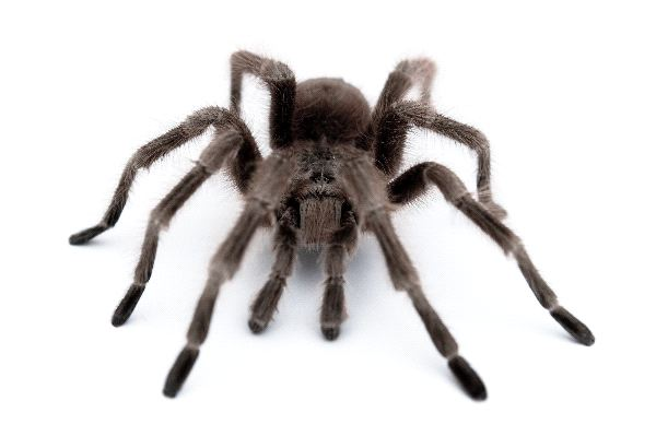 Tarantula With Large Legs