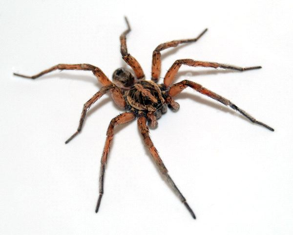 Wolf Spider In White Background