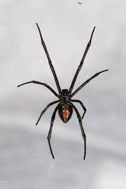 black widow spider spider facts and information