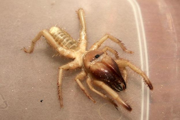 Camel spider or Sun spider