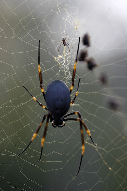 Interesting facts about Golden silk orb-weaver