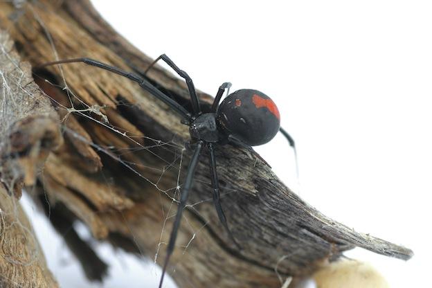 Interesting information about Redback Spider