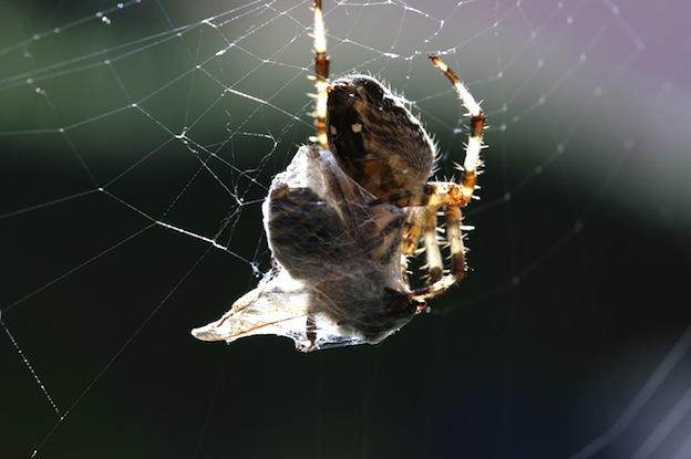 Arañas y sus métodos de captura.
