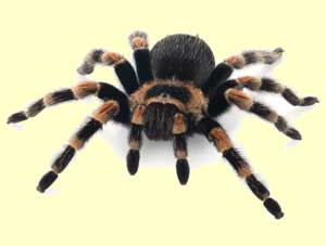 top spider facts