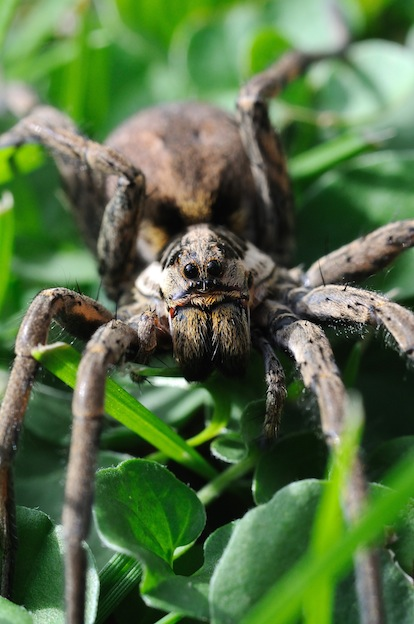 Amazing facts about wolf spiders